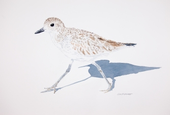 "Black bellied plover #3: 16"" x 20"" watercolor on Arches 140 lb. cold pressed paper"