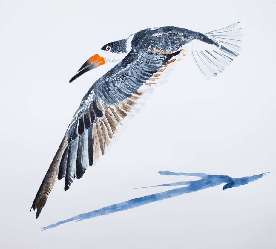 "Black skimmer #4: 18.5"" x 20.5"" watercolor on Arches 140 lb. hot pressed paper"