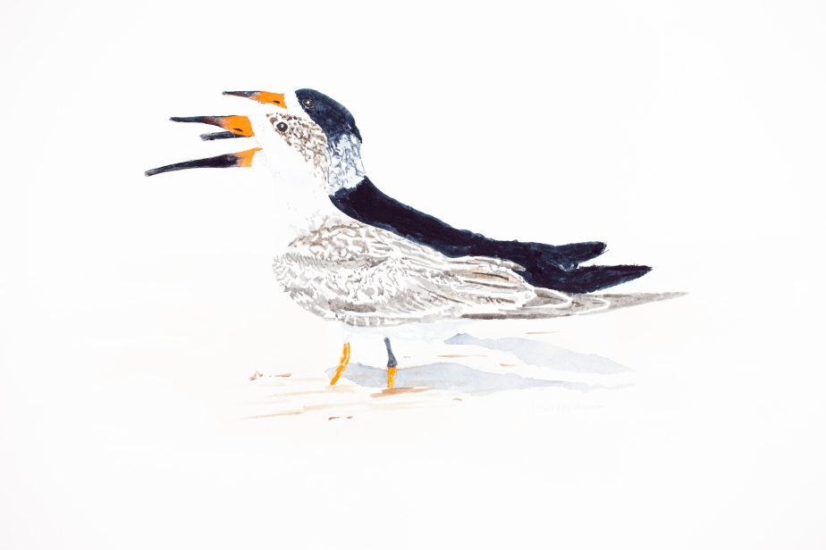 """Black skimmer pair #1: 16"""" x 20"""" watercolor on Arches 140 lb. cold pressed paper"""