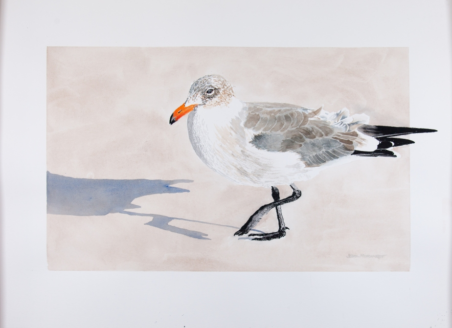 "Heerman's gull: 22""x 30"" watercolor on Arches 140 lb cold pressed paper"
