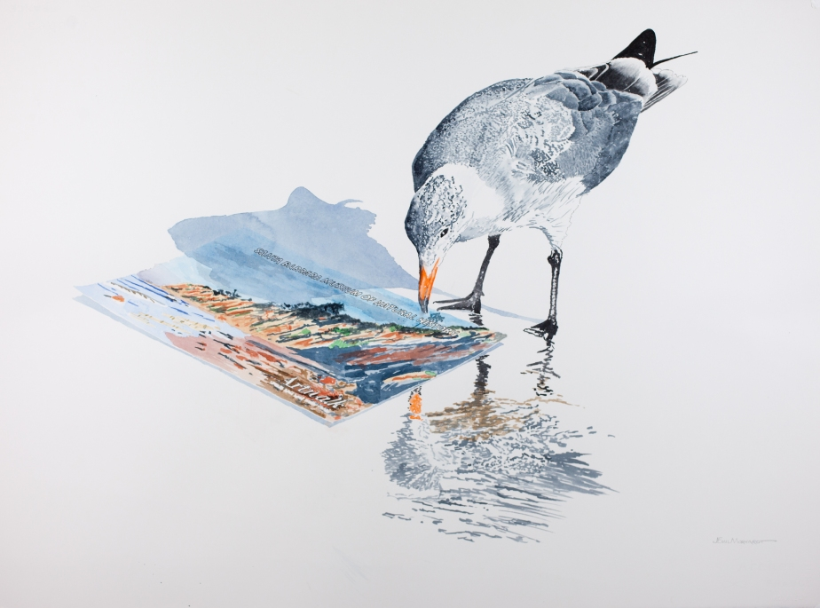 "Heerman's gull inspecting 2015 Santa Barbara Museum of Natural History Artwalk flyer: 22"" x 30"" watercolor on Arches 140 lb. hot pressed paper"