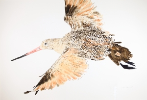 "Marbled godwit 15"" x 22"" watercolor on Arches 140 lb. cold pressed paper"