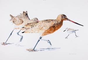 "Marbled godwits 15"" x 22"" watercolor on Arches 140 lb. cold pressed paper"