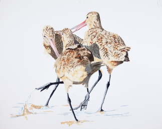 "Marbled godwits 16"" x 20"" watercolor on Arches 140 lb. cold pressed paper"