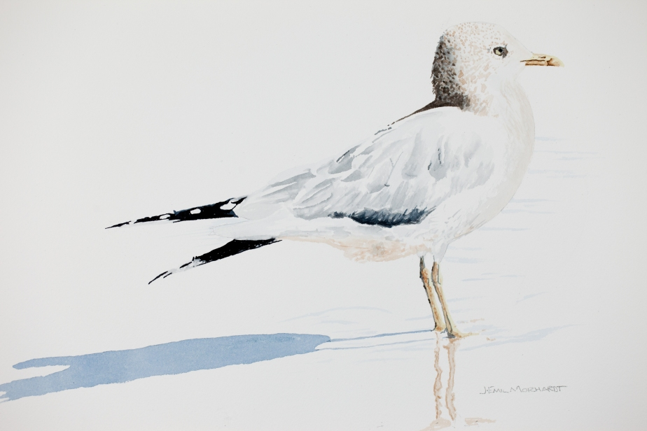 "Mew gull #1: 16"" x 20"" watercolor on Arches 140 lb. cold pressed paper"