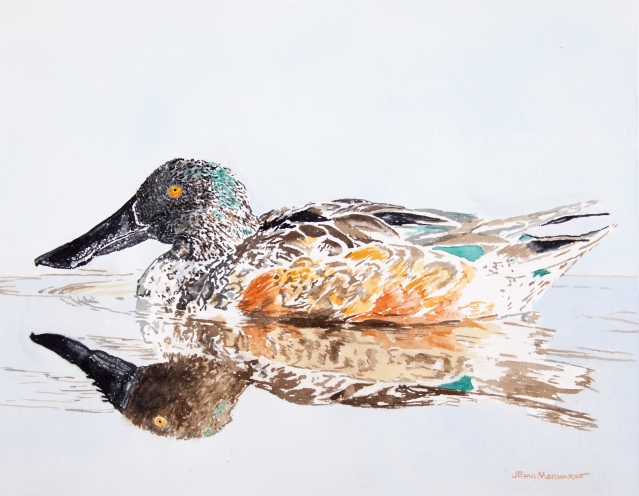 "Northern shoveler, male: 11"" x 13"" watercolor on Arches 140 lb. cold pressed paper"