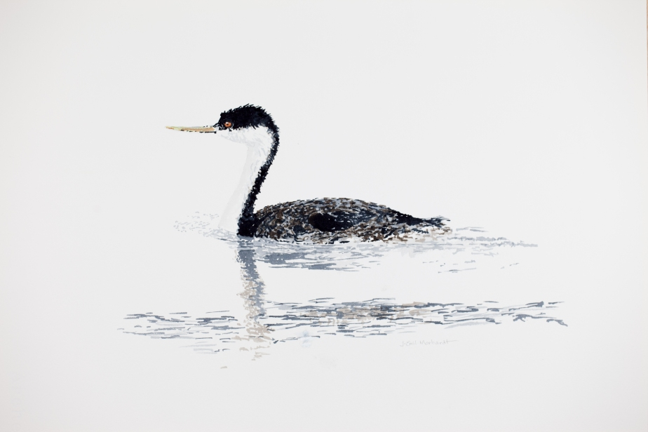 Western Grebe off East Beach