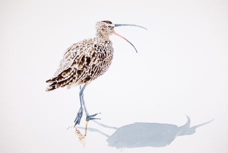 "Whimbrel #3: 16"" x 20"" watercolor on Arches 140 lb. cold pressed paper"