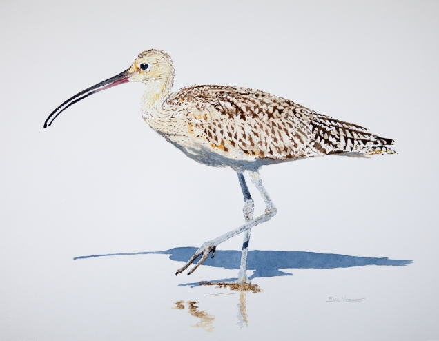 "Long-billed curlew #1 at Hendry's Beach: 16"" x 20"" watercolor on Arches cold pressed paper."