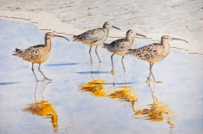 "2 Whimbrels 2 Willets, Acrylic on Panel, 24"" x 36"", $1,200"