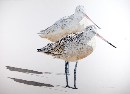 """Marbled Godwits #19, 22"""" x 36"""" Watercolor, SOLD"""