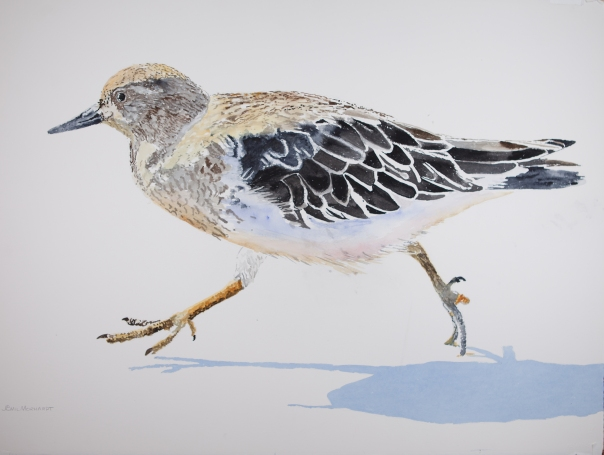 "Black Turnstone #2, Watercolor on Arches 300lb paper, 23"" x 30"", $1000"