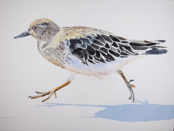 """Black Turnstone #2, Watercolor on Arches 300lb paper, 23"""" x 30"""", $1000"""