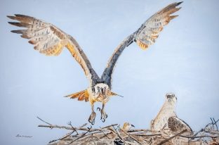 "Osprey #1, Acrylic on panel, 24"" x 36"", $1500"