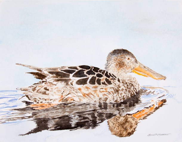 "Female northern shoveler, 16"" x 20"" watercolor, $500"