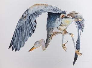 "Great Blue Heron #2 Departing, 23"" x 30"" Watercolor on paper, $1,100"