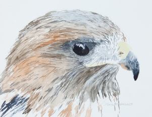 "Red-Tailed Hawk #2, Santa Barbara Museum of Natural History, 8"" x 10"" watercolor on Arches 140lb cold-pressed paper. Matted. $125"