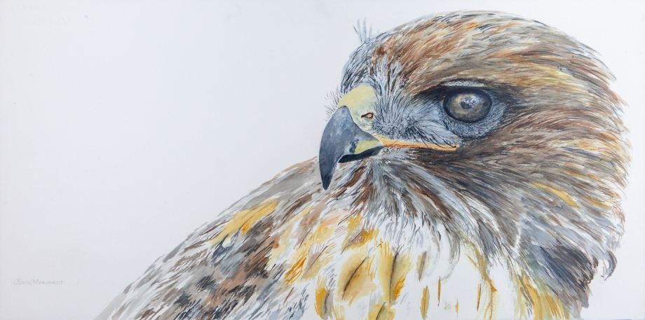 "Hawk, Ivan the Red-Tailed , Santa Barbara Museum of Natural History 15"" x 30"" Watercolor, $900 SOLD"