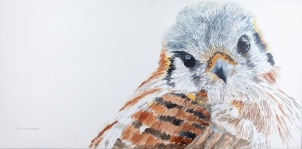 "Kanati, the Calm Kestrel, Santa Barbara Museum of Natural History. 15"" x 30"" Watercolor. $975 at UGallery.com"
