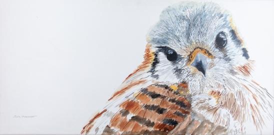 "Kanati, the Calm Kestrel, Santa Barbara Museum of Natural History. 15"" x 30"" Watercolor. $975 at UGallery.com SOLD"
