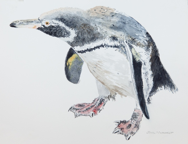 """Galapagos Penguin #1, 11"""" x 14"""" Watercolor on Arches 140 lb. cold-pressed paper. $225"""