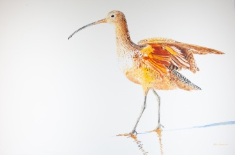 "Long-Billed Curlew #6, 24"" x 36"" Acrylic on panel, $950"