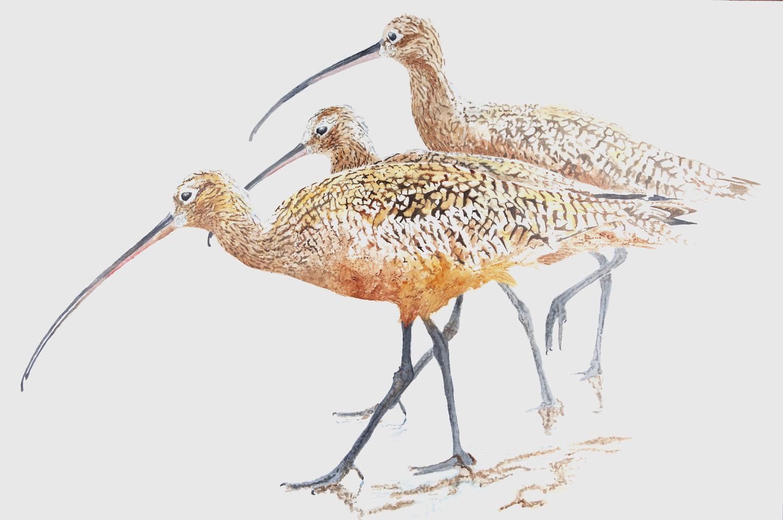 3 Long-Billed Curlews