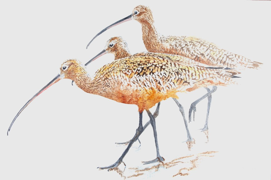 3 Long-Billed Curlews