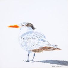 Royal Tern #6